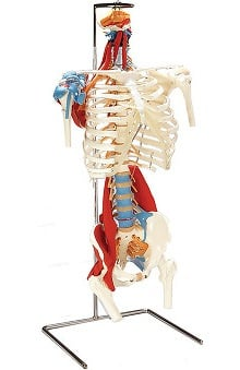 Anatomical Chart Company Skeletal Torso with Muscles