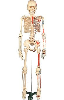 Anatomical Chart Company Painted Mr. Thrifty Skeleton