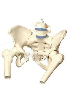 Anatomical Chart Company Female Pelvis Cast Model