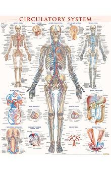 Bar Charts Circulatory System Poster