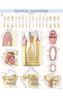 Bar Charts Dental Anatomy Poster