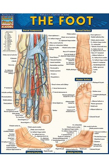 Bar Charts The Foot Quick Study Guide