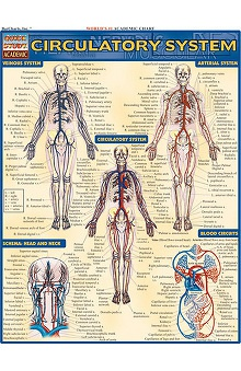 Bar Charts Circulatory System Guide
