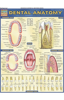 Bar Charts Dental Anatomy Guide