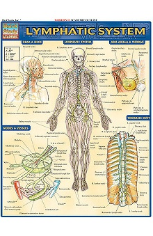 Bar Charts Lymphatic System Guide