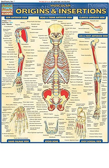 Bar Charts Muscular Origins and Insertions Guide