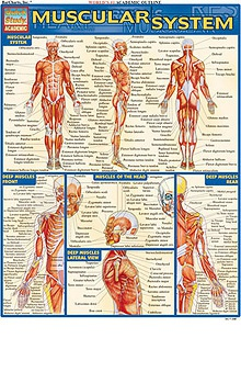 Bar Charts Muscular System Guide