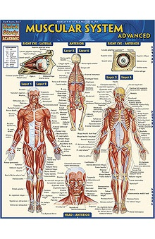 Bar Charts Muscular System Advanced Guide