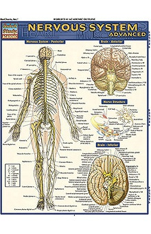 Bar Charts Nervous System Advanced Guide