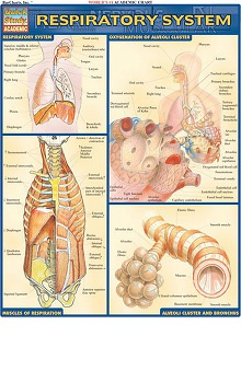 Bar Charts Respiratory System Guide