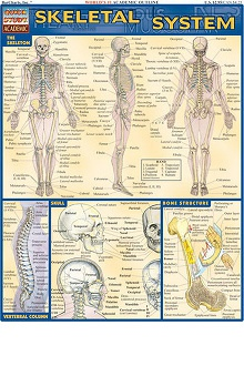 Bar Charts Skeletal System Guide