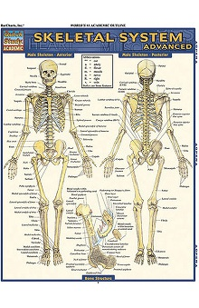 Bar Charts Skeletal System: Advanced Guide