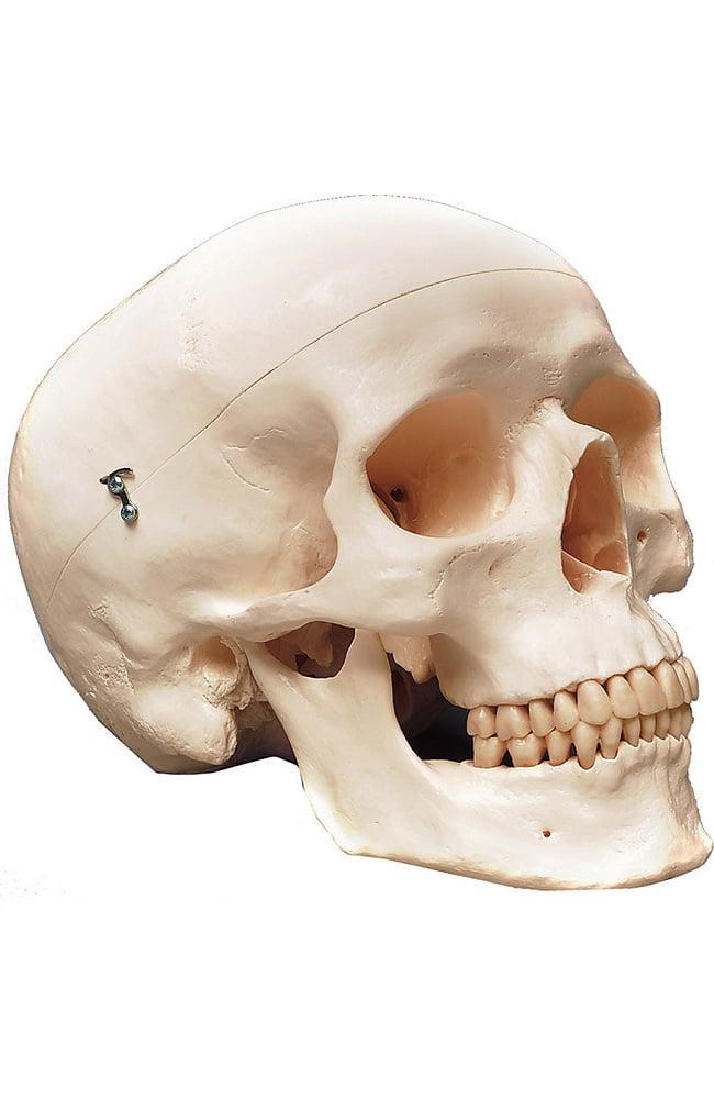 Anatomical Chart Company Classic Human Skull Anatomical Model