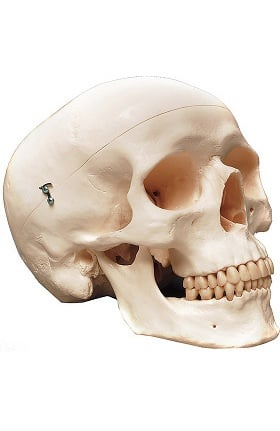 Anatomical Chart Company Classic Human Skull Anatomical Model