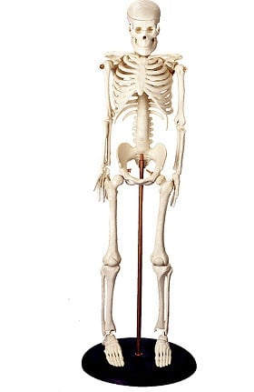 Anatomical Chart Company Miniature Skeleton Anatomical Model
