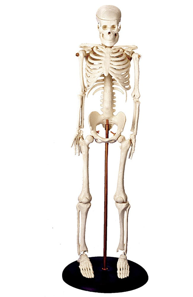 Anatomy Models & Charts - Anatomical Model for Sale - Medical Students