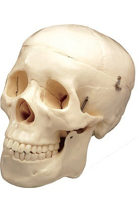 Anatomical Chart Company Basic Skull Anatomical Model