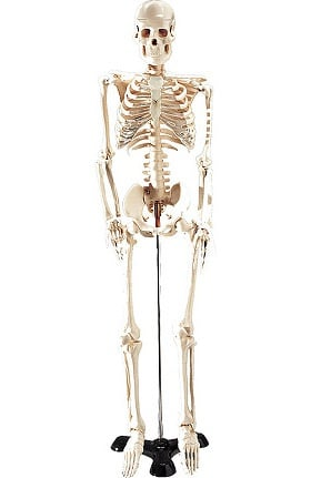 Anatomical Chart Company Table-Size Skeleton Anatomical Model