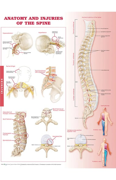 Anatomical Chart Company Anatomy And Injuries Of The Spine