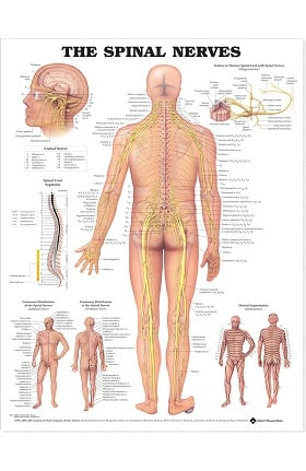 Anatomical Chart Company The Spinal Nerves Anatomical Chart