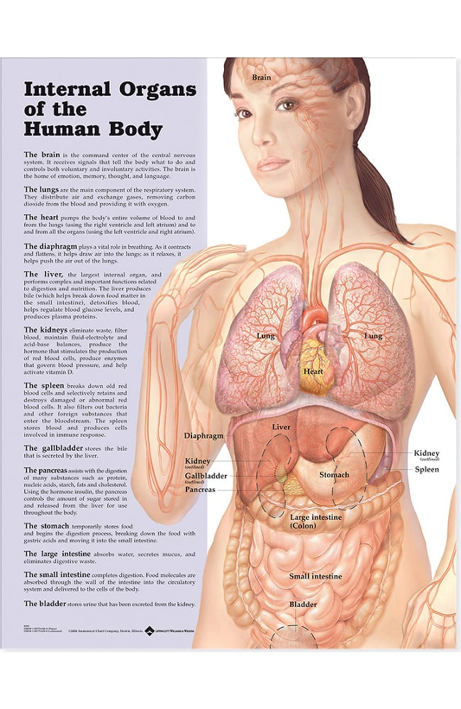 Anatomical Chart Company Internal Organs Of The Human Body