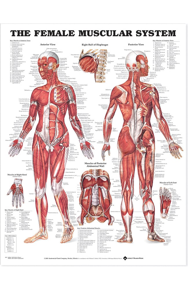 Women Hand Muscle Diagram Chest Circuit Diagram Symbols