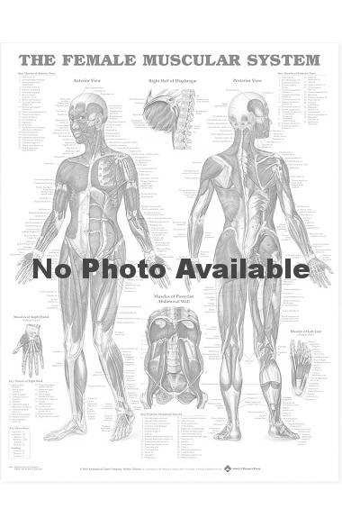 Anatomical Chart Company The Female Muscular System Anatomical Chart