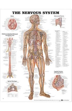 Anatomical Chart Company The Nervous System Anatomical Chart