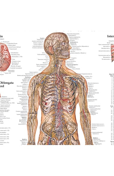 Anatomical Chart Company The Nervous System Anatomical Chart ...