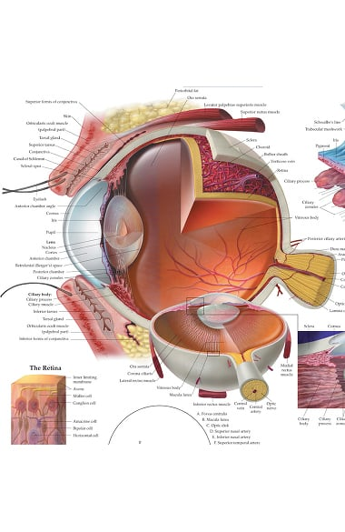 Anatomical Chart Company The Eye Anatomical Chart Allheart