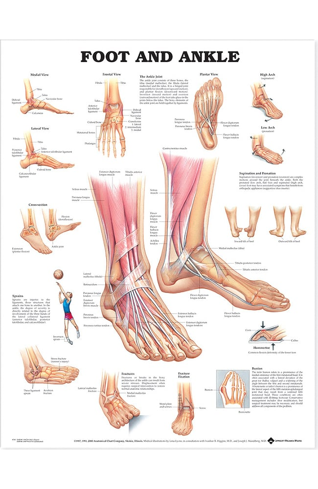 Anatomical Chart Company Foot And Ankle Anatomical Chart Allheart