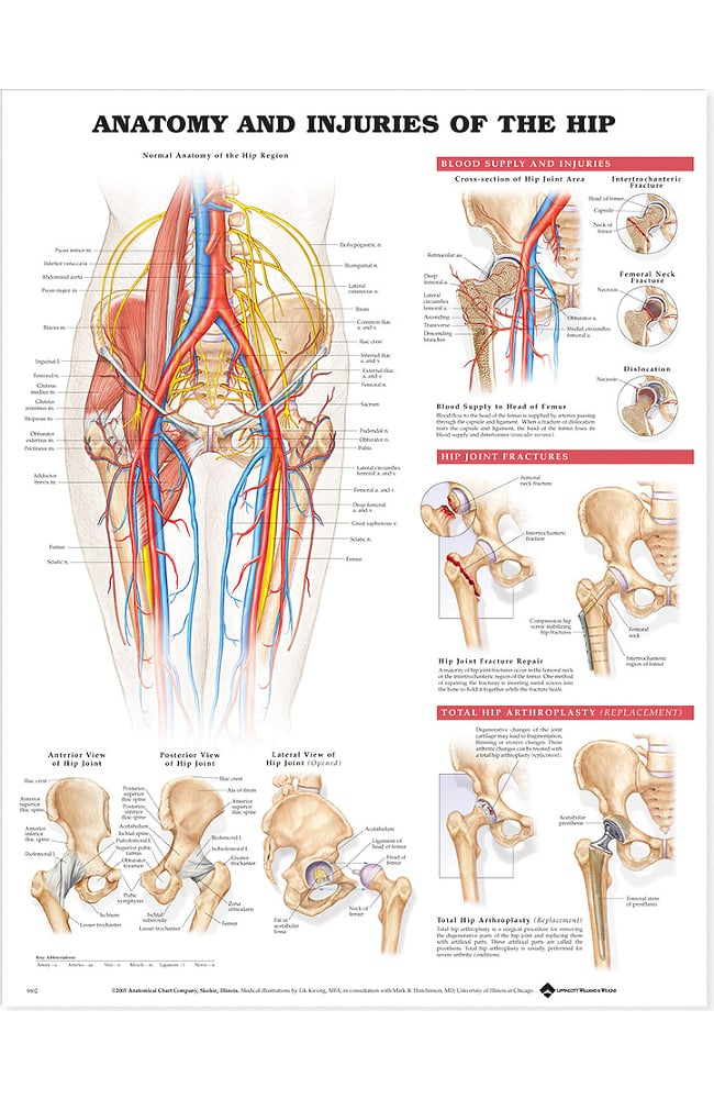 Anatomical Chart Company Anatomy and Injuries Of The Hip Anatomical ...
