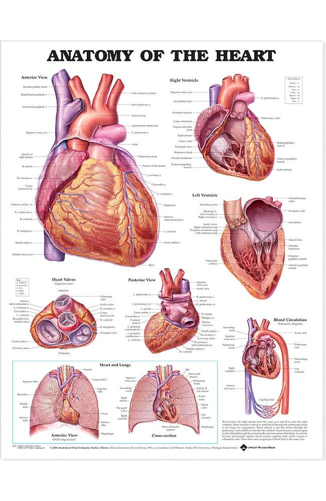 Anatomical Chart Company Anatomy Of The Heart Anatomical Chart