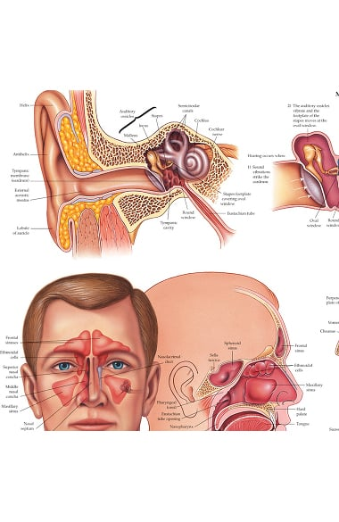 Anatomical Chart Company Ear Nose And Throat Anatomical Chart