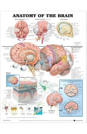 Anatomical Chart Company Anatomy Of The Brain Anatomical Chart