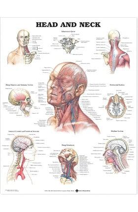 Anatomical Chart Company Head and Neck Anatomical Chart