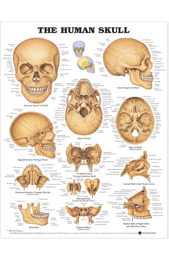 Anatomical Chart Company The Human Skull Anatomical Chart | allheart.com