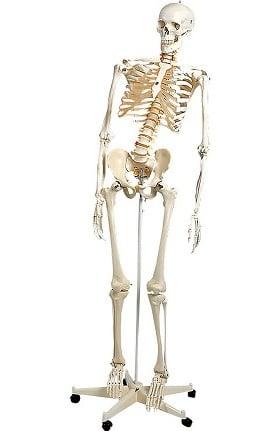 Anatomical Chart Company Plastic Human Adult Skeleton (Flexible)
