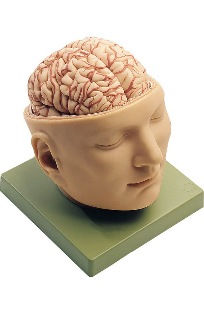 Anatomical Chart Company Base Of Head with Brain Model | allheart.com