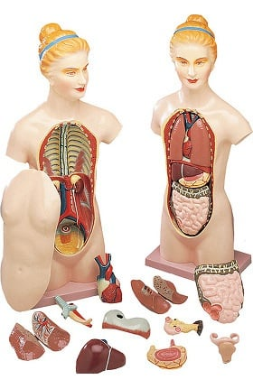 Anatomical Chart Company Budget Female Torso