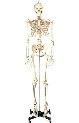 Anatomical Chart Company Budget Bucky Skeleton with Rolling Stand