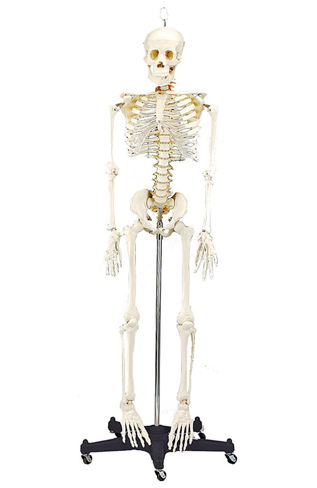Anatomical Chart Company 34 Life Size Budget Bart Skeleton