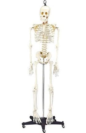 Anatomical Chart Company 4th Quality Budget Bart Skeleton