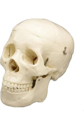 Anatomical Chart Company Budget Skull