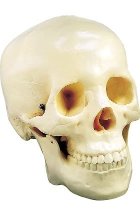 Anatomical Chart Company Two Piece Life Size Skull