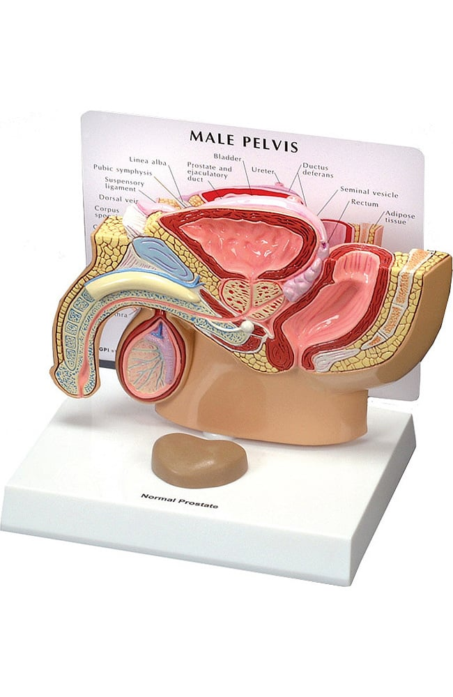 Anatomical Chart Company Male Pelvis Model | allheart.com