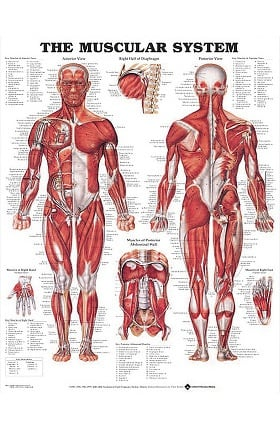 Anatomical Chart Company Giant Muscular System Chart