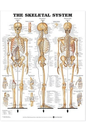 Anatomical Chart Company Giant Skeletal System Chart