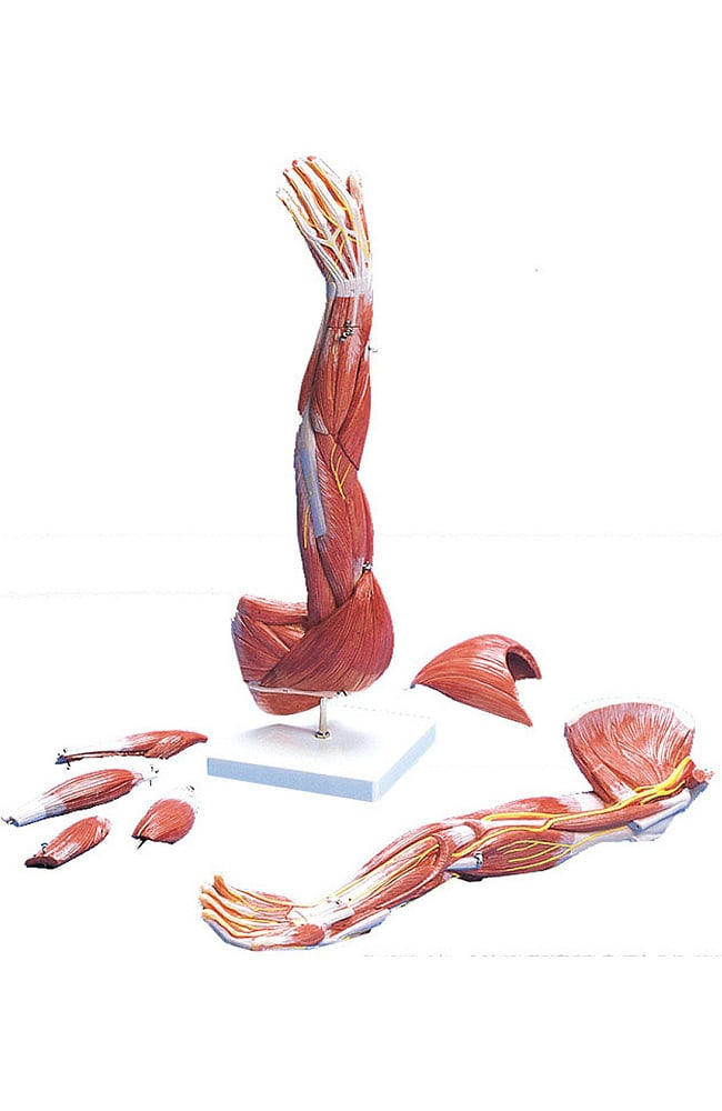 Anatomical Chart Company Muscles Of The Arm Model (Left) | allheart.com