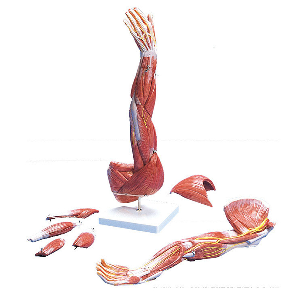 Anatomical Chart Company Muscles Of The Arm Model (Left) | eBay